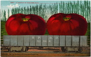 [Railroad freight car filled with giant tomatoes]