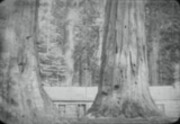 Giant trees of California